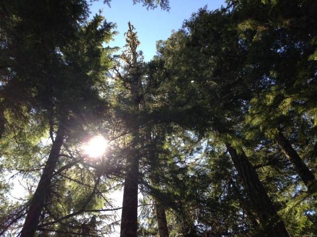 Trees on the trail, Mount Rainier National Park, April 2014.